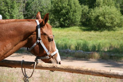 Stable horse. Sorrel colored stable horse tied up to a hitching post in a corral Stock Images