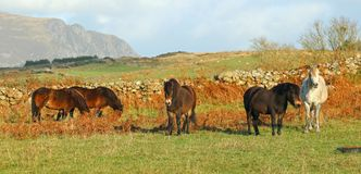 Stable of horses in a field. A stable of five horses in a field in the Welsh countrye Stock Image