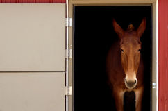 Stabled Horse. A horse peeks out of a stable stall Royalty Free Stock Images