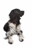 stabyhoun указателя frisian Стоковые Изображения RF