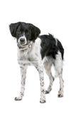 Stabyhoun dog Royalty Free Stock Photos