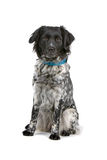 Stabyhoun dog Royalty Free Stock Photography