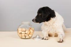 Stabyhoun dog Stock Image