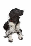 Stabyhoun or Frisian Pointer. In front of a white background Royalty Free Stock Images