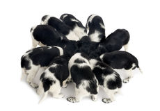 Stabyhoun puppies eating together Royalty Free Stock Photo
