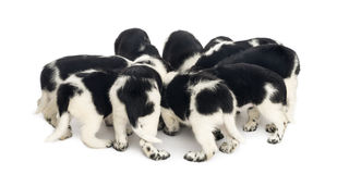 Stabyhoun puppies eating together Royalty Free Stock Photos