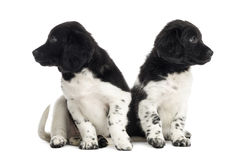 Stabyhoun puppies ignoring each other, isolated Stock Images