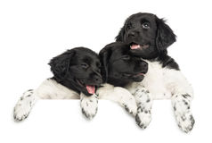 Stabyhoun puppies leaning on a wite board, isolated Royalty Free Stock Photos