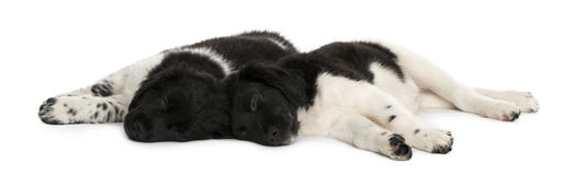 Stabyhoun puppies lying down together, resting Royalty Free Stock Photos