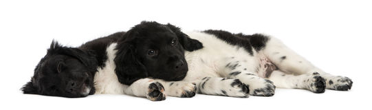 Stabyhoun puppies lying down together, resting Stock Photo