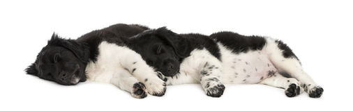 Stabyhoun puppies lying down together, resting Stock Image