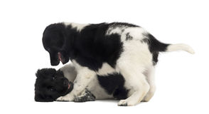 Stabyhoun puppies playing together, isolated Royalty Free Stock Photo