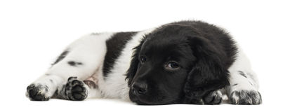 Stabyhoun puppy lying, bored, looking at the camera Stock Photography