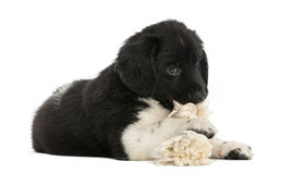 Stabyhoun puppy lying down, chewing a rope toy,. Isolated on white stock photo