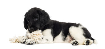 Stabyhoun puppy lying down, chewing a rope toy. Isolated on white stock images