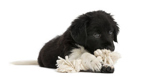 Stabyhoun puppy lying down, chewing a rope toy. Isolated on white royalty free stock photos
