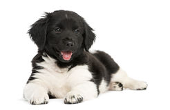 Stabyhoun puppy lying down, panting, Royalty Free Stock Images