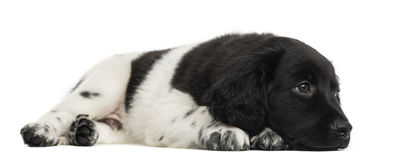 Stabyhoun puppy lying, looking away, pensive Stock Photo