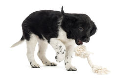 Stabyhoun puppy playing with a rope toy, isolated. On white stock photos