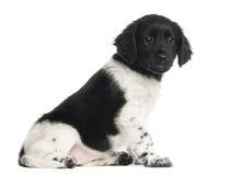 Stabyhoun puppy sitting, isolated Stock Photo