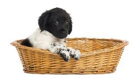 Stabyhoun puppy in a wicker basket Royalty Free Stock Photos