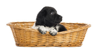 Stabyhoun puppy in a wicker basket, looking up Stock Photography