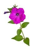 Stacchi con un fiore magenta della petunia isolato su bianco Fotografie Stock Libere da Diritti
