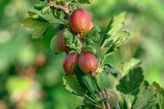 Stachebeere, cespuglio di uva spina, uva spina, fotografia stock libera da diritti