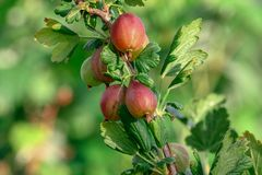 Stachebeere, gooseberry bush, gooseberries, royalty free stock photography
