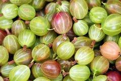 Stachelbeeren frisch ausgewählt vom Garten Lizenzfreie Stockfotos