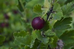 Stachelbeeren oder agrus, Niederlassung mit Beeren purpurrotes Agrus, Gruppe süße reife Beerenstachelbeeren, agrus im Garten Stockfotos