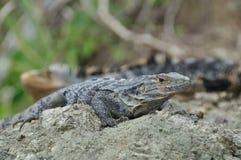 Stachelig-angebundene Leguane Lizenzfreies Stockfoto