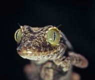 Stachelig-angebundener Gecko lizenzfreies stockbild