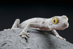 Stachelig-angebundener Gecko/Strophurus-spinigerus stockfoto