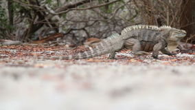 Stachelig-Endstück-Leguan, der aus Rahmen heraus geht stock video footage