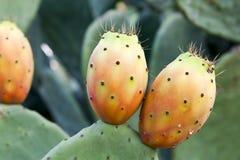 Stachelige Birne auf Kaktus stockbild