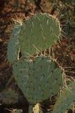 Stachelige Birnen-Kaktus Lizenzfreie Stockfotografie