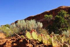 Stachelige Birnen-Kaktus Stockfoto