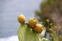 Stachelige Birnen-Kaktus Stockbild