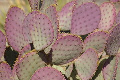 Stachelige Birnen-Kaktusnahaufnahme Stockbild