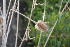 Stachelige Distel-Blume auf einer Wiese, böhmischer Wald, Tschechische Republik, Europa Lizenzfreie Stockfotografie
