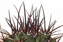 Stachelige Kaktusoberseite Lizenzfreies Stockfoto