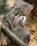 Stachelige Mäuse Kleinasiens Lizenzfreies Stockbild