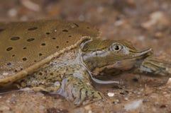 Stachelige softshell Schildkröte lizenzfreies stockfoto