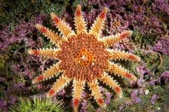 Stachelige Sun-Sterne unter Wasser im Golf von stLawrence lizenzfreies stockbild