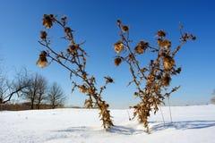 Stacheliger Burdock auf Schneefeld Stockfoto
