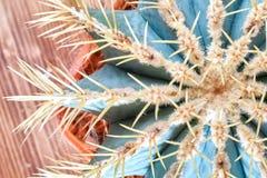 Stacheliger kugelförmiger Kaktus, Draufsicht Blaugrüner runder Kaktus mit gelben langen Nadeln Flache Lage Nahaufnahme stockfotografie