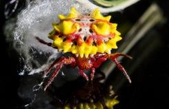 Stacheliger Kugelweber und Unschärfeweißspinnennetz stockfotos