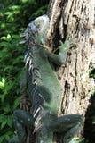 Stacheliger Leguan auf einem Baum Stockfotos