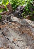 Stacheliger Leguan auf Felsen Lizenzfreies Stockfoto